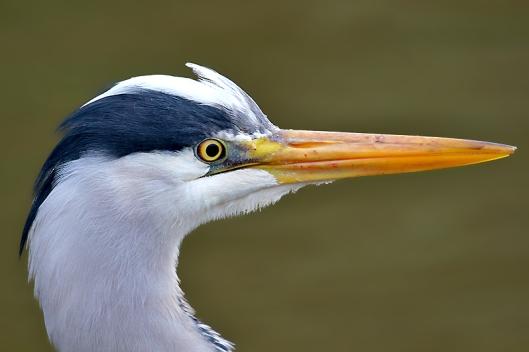 Fotos - Tiere - Tierfotos - Vogelfotos - Graureiher im Profil